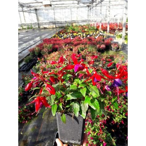 Fuchsia varié