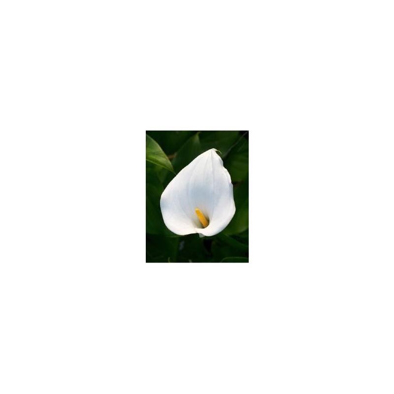 Arum blanc (Zantedeschia)